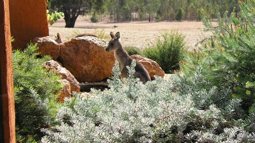 Kangaroos in the Top Paddock - Accommodation Newcastle
