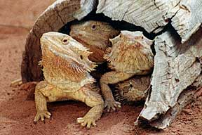 Alice Springs Reptile Centre - Accommodation Newcastle