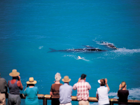 Whale Watching At Head Of Bight - Accommodation Newcastle