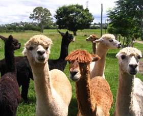 Banyandah Alpacas - Accommodation Newcastle