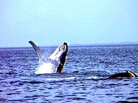 Whale Watching - Accommodation Newcastle