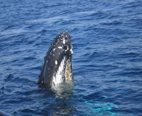 Jervis Bay Whales - Accommodation Newcastle