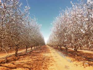 Mallee Almond Blossom Festival - Accommodation Newcastle